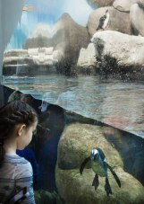 Penguin interactions at the California Academy of Sciences